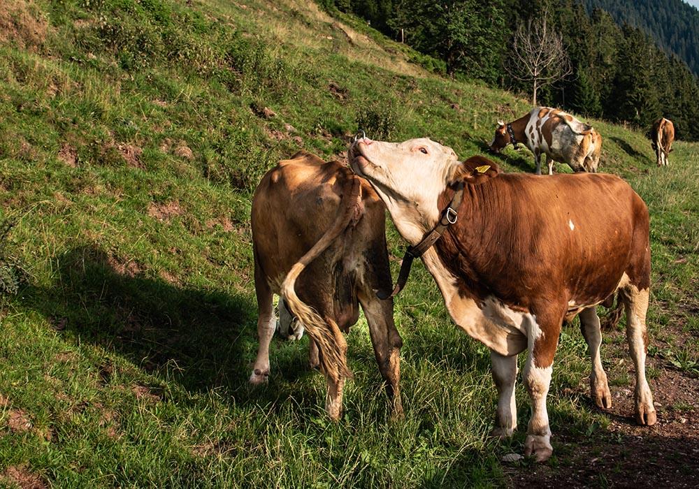 Ein sommerliches Heumilch-Abenteuer auf der Saukogl-Alm in Tirol - Bulle auf der Weide
