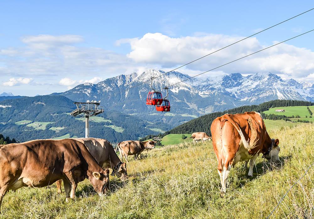 Heumilch-Kühe auf der Hohen Salve